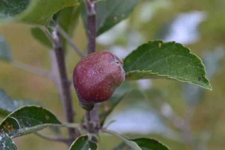 apple tree.jpg