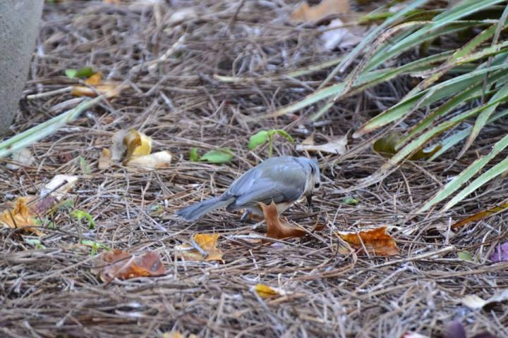 Bird in the mulch